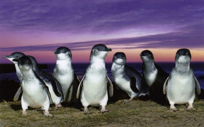 fairy-penguins
