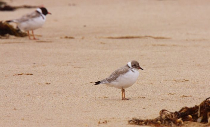 hooded-plovers