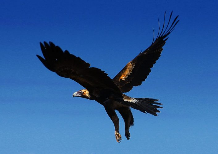 wedge-tailed-eagle